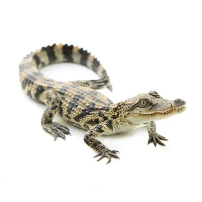 Crocodílidos